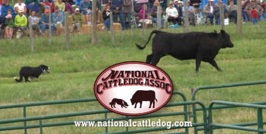 National Cattledog Association video. Omaha Video Production Company LP Photo Video.